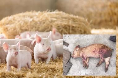 Việt Nam sản xuất thử nghiệm thành công vắc-xin phòng dịch tả lợn châu Phi