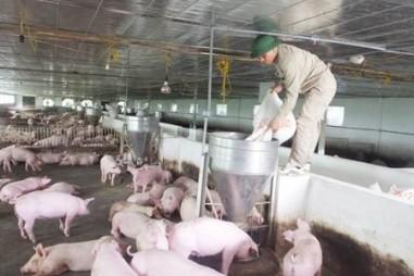 """Hải Phòng không """"bế quan tỏa cảng"""" với lợn giống ngoại tỉnh"""