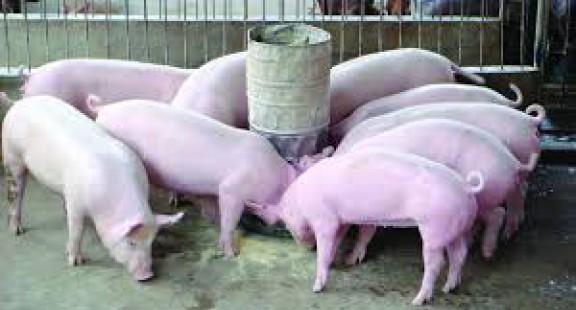 Xu thế hiện đại trong dinh dưỡng động vật nuôi: Giảm đạm thô trong khẩu phần