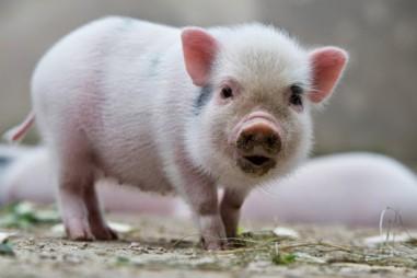 Sử dụng da lợn chứa tế bào sống để điều trị tổn thương bỏng ở người