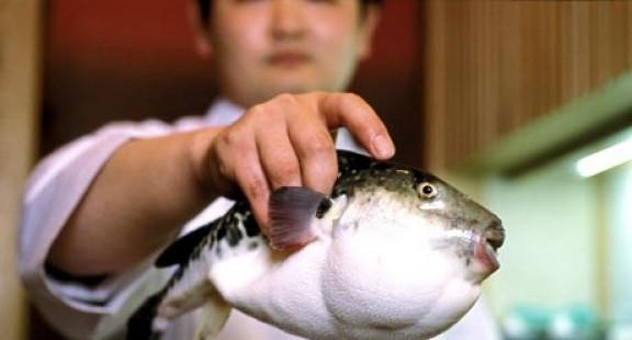 Cá nóc - mặt hàng tỷ USD tiềm năng của nghề cá Việt Nam (kỳ 2)