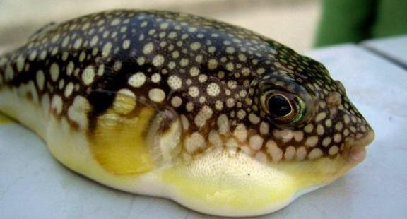 Cá nóc - mặt hàng tỷ USD tiềm năng của nghề cá Việt Nam (kỳ 1)