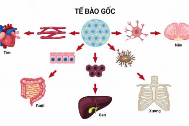 Tế bào gốc - Vua của mọi loại tế bào