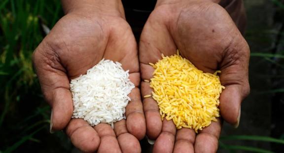 Ngăn chặn gạo biến đổi gene khiến hàng triệu trẻ em bị suy dinh dưỡng và mù lòa