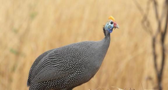 Nghiên cứu khả năng sinh trưởng của gà Sao Nuimidae Melegris (Linnaeus, 1758) theo phương thức nuôi bán thả tại nông hộ thị xã Hương Trà, tỉnh Thừa Thiên Huế