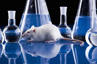Nuôi 20.000 con chuột thử nghiệm vaccine