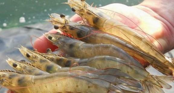 PerkinElmer ra mắt các xét nghiệm phát hiện kháng sinh 5 trong 1 cho tôm nuôi