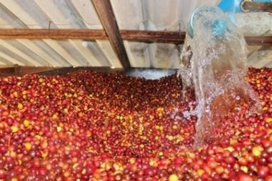 Phương pháp sinh học xử lý quả cà phê tươi