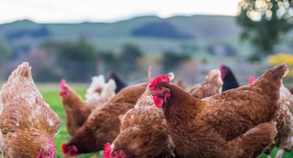 Các nhà khoa học phát triển hệ thống phát hiện ký sinh trùng cho các trang trại gia cầm