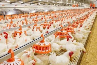 Nguồn protein mới cho chăn nuôi