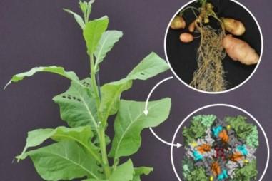 Nghiên cứu mới có thể dẫn đến bước đột phá lớn trong sản xuất cây trồng