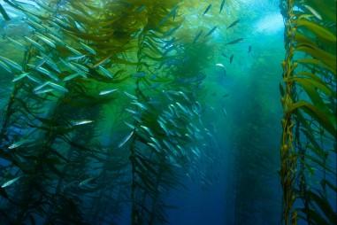 Chiết xuất tảo bẹ hứa hẹn ngăn ngừa Covid-19