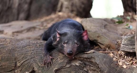Căn bệnh kỳ lạ ở quỷ Tasmania có thể giúp điều trị ung thư ở người
