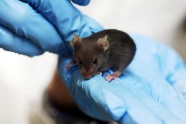 Chuột thí nghiệm