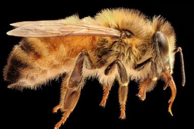 Phân tử trong nọc độc của ong mật có thể tiêu diệt tế bào ung thư vú