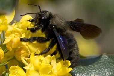 Nọc ong có chữa được ung thư ?