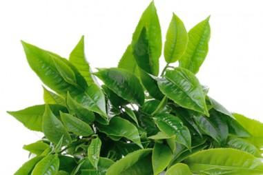Chiết xuất catechin từ lá chè xanh