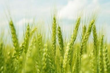 Khám phá mối liên hệ giữa Gỉ sắt, Lúa mì và Cây mâm xôi