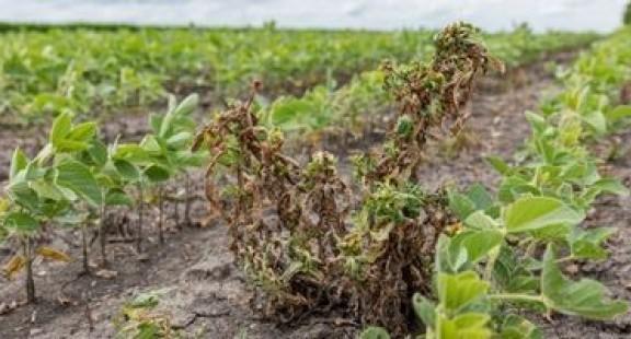 Kỹ thuật mới để chẩn đoán nhanh cỏ dại kháng thuốc diệt cỏ
