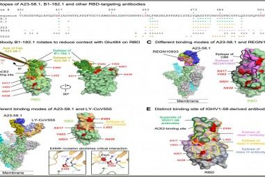 Tìm thấy siêu kháng thể có thể chống lại các biến thể Sars-CoV-2