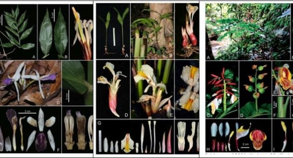 Đánh giá tính đa dạng các loài Tiểu đậu khấu thuộc họ Gừng