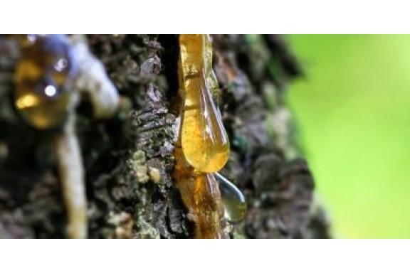 Các nhà nghiên cứu phát hiện ra nhựa làm từ cây thông Sap