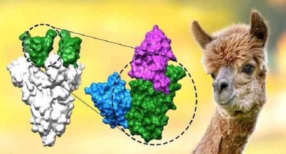 Tạo bộ ba kháng thể nano diệt nCoV tốt gấp 30.000 lần
