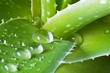 Quan ngại với dự thảo liên quan đến thực vật chứa dẫn xuất hydroxyanthracene