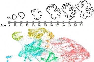 Bản đồ phân tử đầu tiên mô tả sự phát triển tiểu não của người