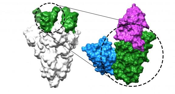 Kháng thể nano có khả năng ngăn chặn virus SARS-CoV-2