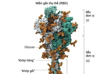 """""""Mánh khóe"""" xâm lược tế bào của SARS-CoV-2"""