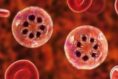 Các nhà nghiên cứu thuốc xử lý ký sinh trùng sốt rét ở các giai đoạn sống của chúng